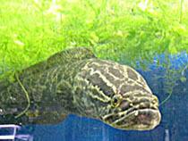 日本産淡水魚