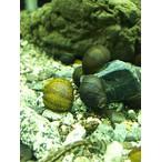 イシマキガイ Clithon retropictus 10個セット